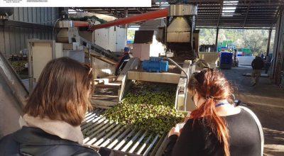 Vico fa sistema e valorizza l'olivicoltura anche in chiave turistica